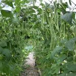 Kasi garden beans