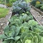 Kasi garden cabbage