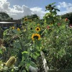Kasi garden sunflowers